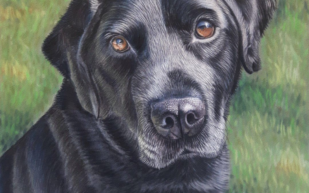 Bobby the Labrador Portrait